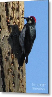 The Real Woody The Woodpecker Metal Print by Tina Marie