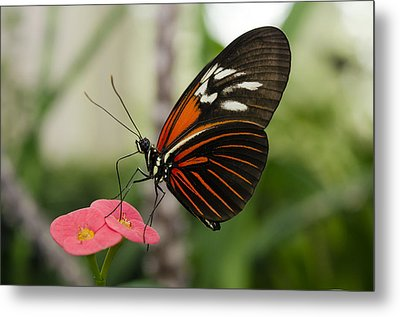 The Red Admiral  Metal Print by MaryJane Armstrong
