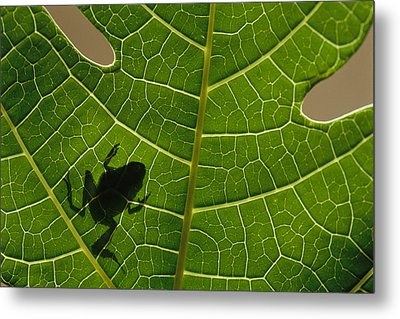 The Silhouette Of A Tree Frog Seen Metal Print