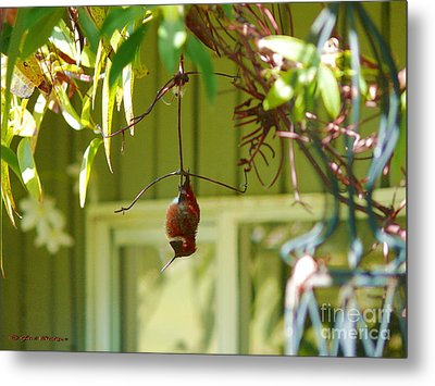 The Sleeping Hummingbird Metal Print by Gail Bridger