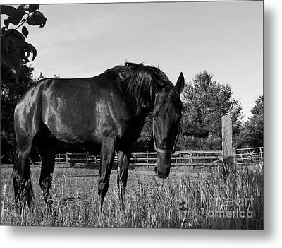 Metal Print featuring the photograph The Stallion by Davandra Cribbie