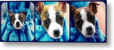 The Three Amigos Teacup Chihuahua Metal Print by Peggy Franz