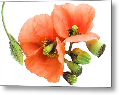 Metal Print featuring the photograph The Torn Off Poppy. The Broken Life. by Aleksandr Volkov
