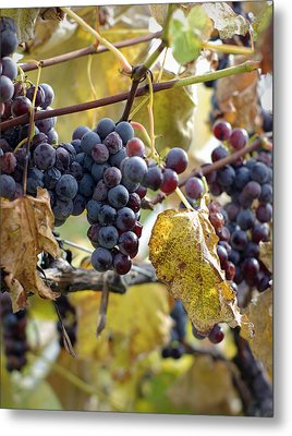 Metal Print featuring the photograph The Vineyard by Linda Mishler