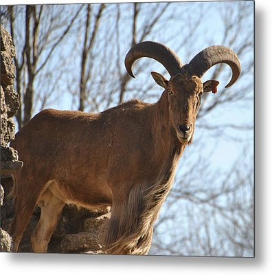 The Whole Goat Metal Print by Carolyn Meuer-Pickering of Photopicks Photography and Art