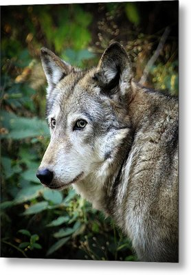 Metal Print featuring the photograph The Wolf by Steve McKinzie