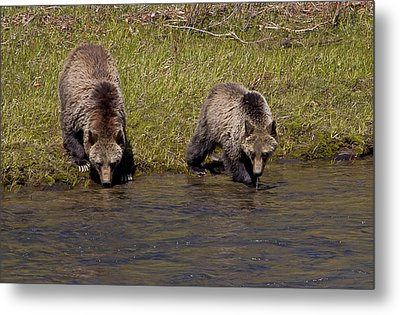 Metal Print featuring the photograph Thirsty Grizzlies by J L Woody Wooden
