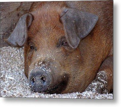 This Little Piggy Took A Nap Metal Print