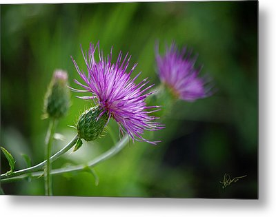 Metal Print featuring the photograph Thistle Dance by Vicki Pelham