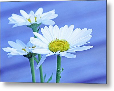 Three Daisies Metal Print by Becky Lodes