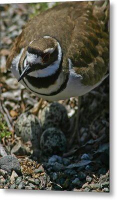 Metal Print featuring the photograph Three Eggs. by Mitch Shindelbower