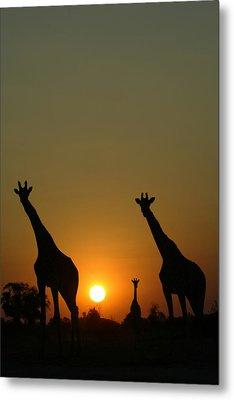 Three Giraffes Stand At Sunset Metal Print by Beverly Joubert