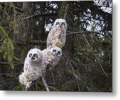 Three Great Horned Owl Bubo Virginianus Metal Print by Richard Wear