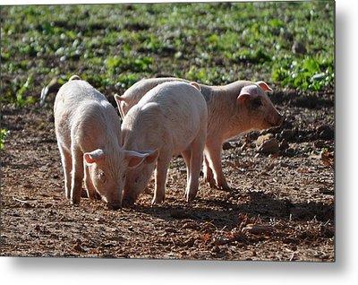 Three Little Pigs Metal Print by Tammy Price