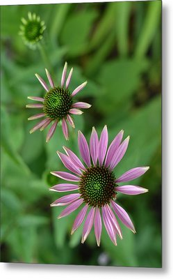 Three Stages Of A Coneflower Metal Print