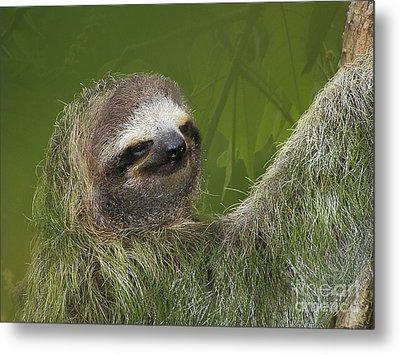 Three-toed Sloth Metal Print by Heiko Koehrer-Wagner