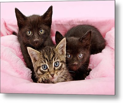 Threee Kittens In A Pink And White Basket Metal Print by Susan Schmitz