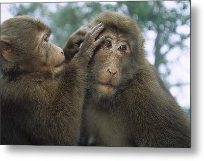 Tibetan Macaques Grooming Metal Print by Cyril Ruoso