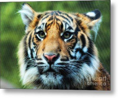 Tiger Metal Print by Billie-Jo Miller