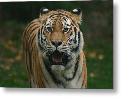 Tiger Metal Print by David Rucker