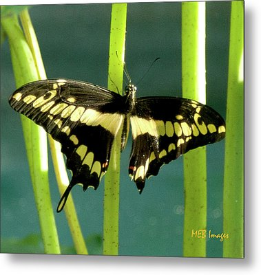 Tiger Swallowtail Metal Print by Margaret Buchanan