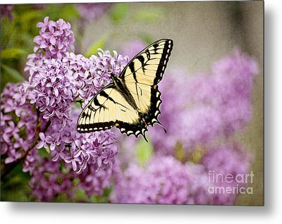 Metal Print featuring the photograph Tiger Swallowtail On Lilac Textured by Cheryl Davis