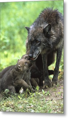 Timber Wolf Canis Lupus Mother Metal Print by Konrad Wothe