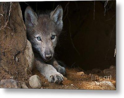 Timber Wolf Pup In Den Metal Print by Michael Cummings