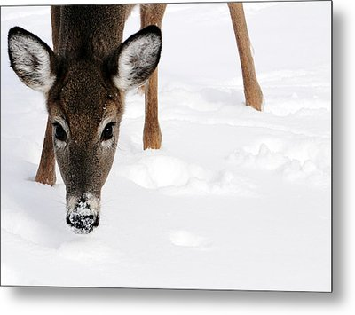 Timbit Metal Print by Bruce Ritchie