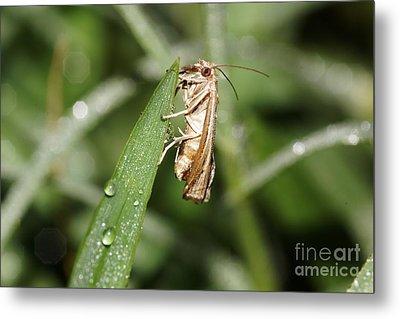 Tiny Moth Metal Print by Lynda Dawson-Youngclaus