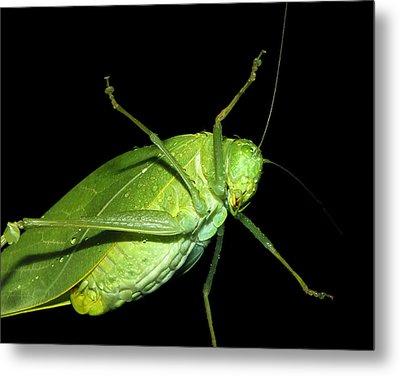 To An Insect Pretty Katydid Metal Print