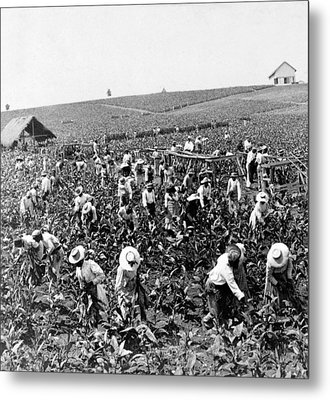 Tobacco Field In Montpelier - Jamaica - C 1900 Metal Print