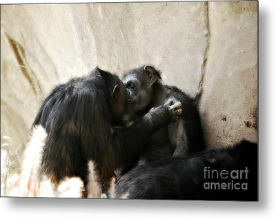 Touching Moment Gorillas Kissing Metal Print by Peggy Franz
