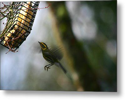 Townsend Warbler In Flight Metal Print by Kym Backland