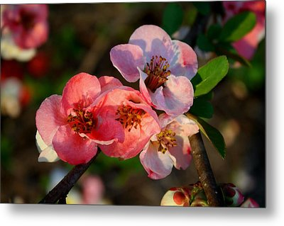 Metal Print featuring the photograph Toyo Nishiki Quince by Kathryn Meyer