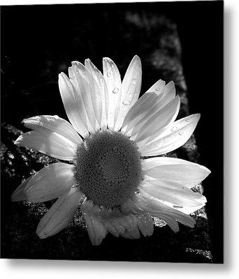 Metal Print featuring the photograph Translucent Daisy by Cindy Haggerty