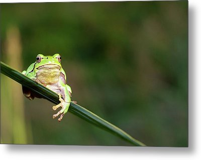 Tree Frog Metal Print by Aaa