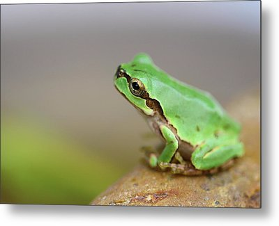 Tree Frog Metal Print by Copyright Crezalyn Nerona Uratsuji