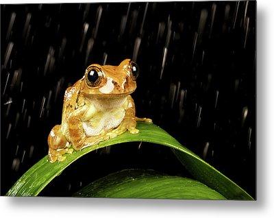 Tree Frog In Rain Metal Print by MarkBridger