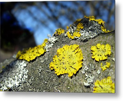 Metal Print featuring the photograph Tree Lichen by Ausra Huntington nee Paulauskaite