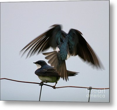 Tree Swallows Courtship Metal Print