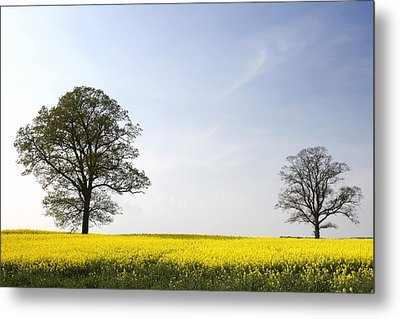 Trees In A Rapeseed Field, Yorkshire Metal Print by John Short