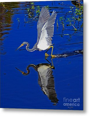 Metal Print featuring the photograph Tri-color Heron Water Ski by Larry Nieland
