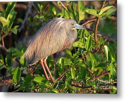 Tricolor Heron Metal Print by Jennifer Zelik
