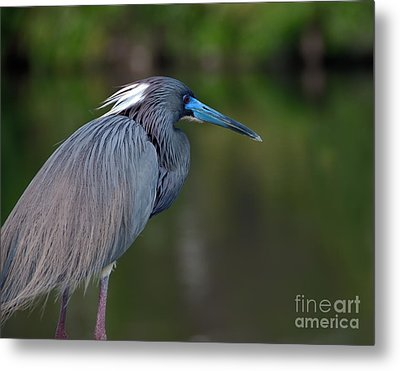Tricolored Heron Metal Print by Art Whitton