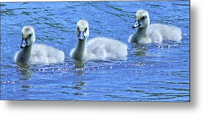 Trio Of Baby Geese Metal Print by Becky Lodes