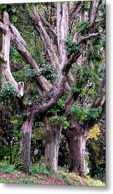 Triplet Trees Metal Print by Beverly Hammond