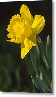 Trumpeting Daffodil Metal Print