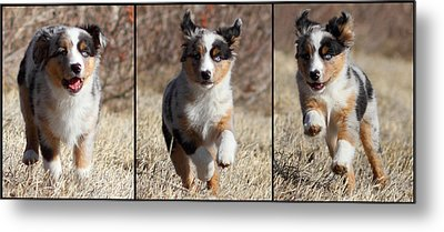 Tryptich Of Puppy Running Metal Print by Pat Gaines