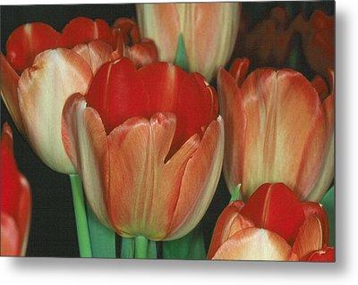 Tulip 1 Metal Print by Andy Shomock